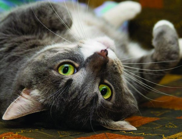 Los gatos tienen 3 días al año para que los festejen, en febrero, agosto y octubre