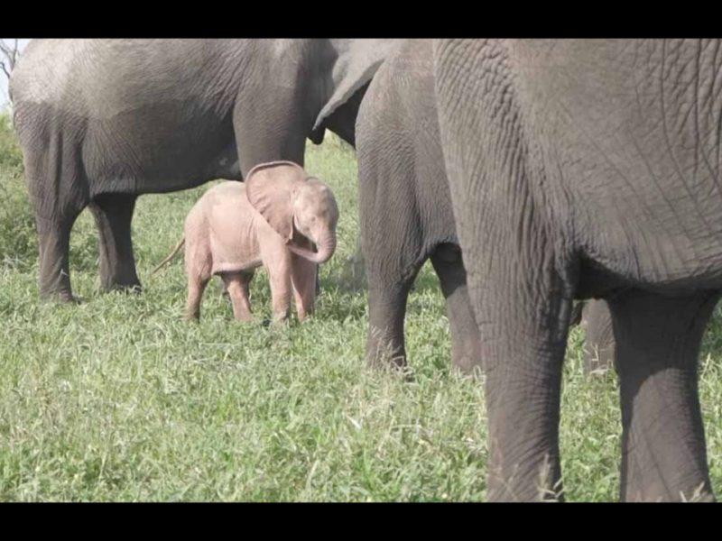 La cría de elefante podría padecer una rara condición genética llamada leucismo