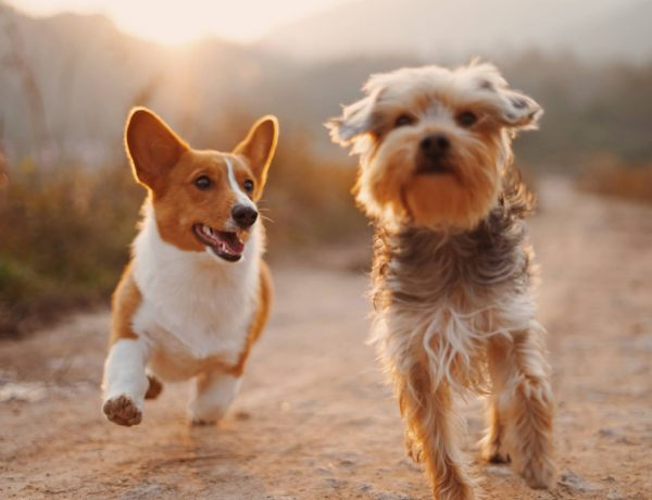 Sin importar su inteligencia, debes estar dispuesto a dedicar tiempo y esfuerzo para entrenar a tu perro.
