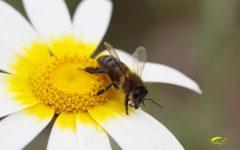abejas dia internacional