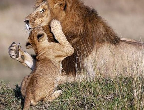 padre-leon-cria-reserva-nacional_thumb_593_348