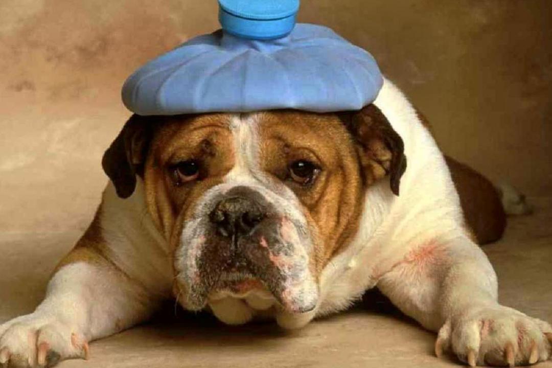 Un can que jadea mucho puede sufrir un golpe de calor, un peligroso colapso que en casos graves causa la muerte de uno de cada tres animales.