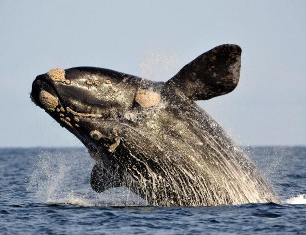 Te damos los mejores consejos para observar en las tranquilas aguas de Maldonado y Rocha las ballenas australes, que tienen una cita en Uruguay cada año, de julio a octubre.
