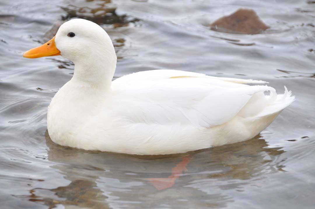 Proteccion animales pato