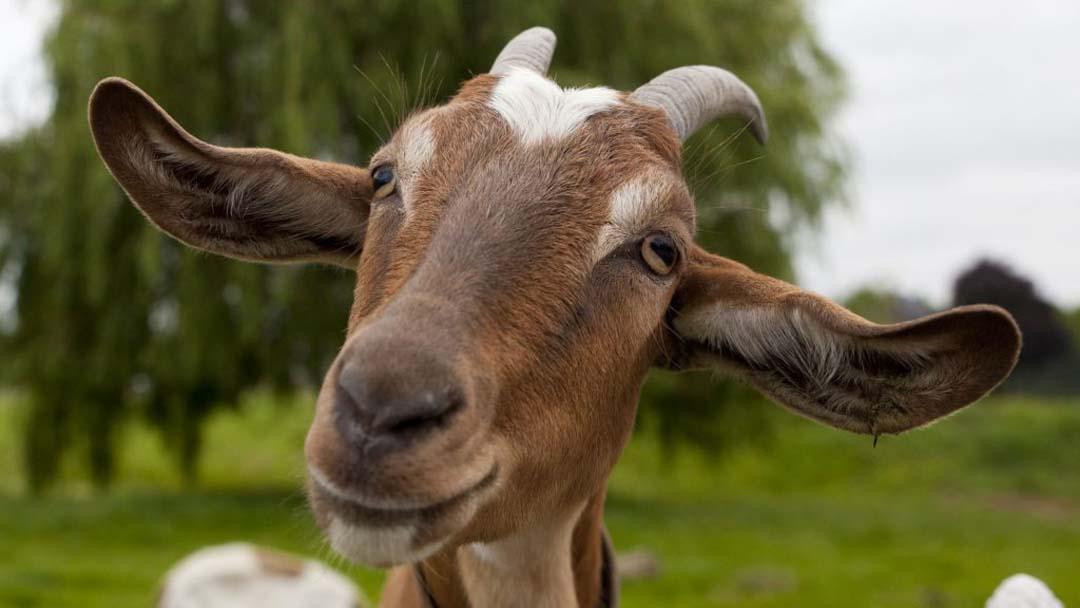 Proteccion animales cabra