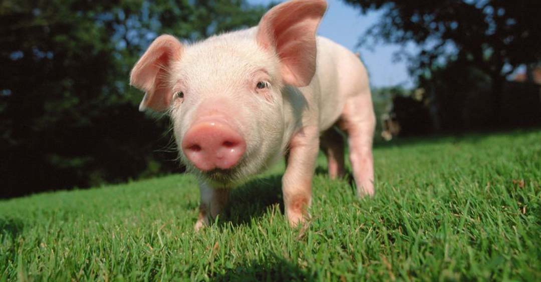 Proteccion animales cerdo