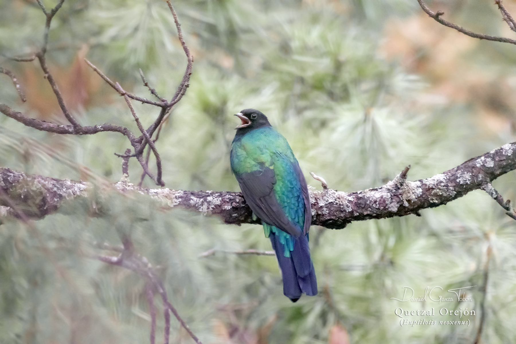 Quetzal Orejón. Foto: Daniel Garza Tobón.